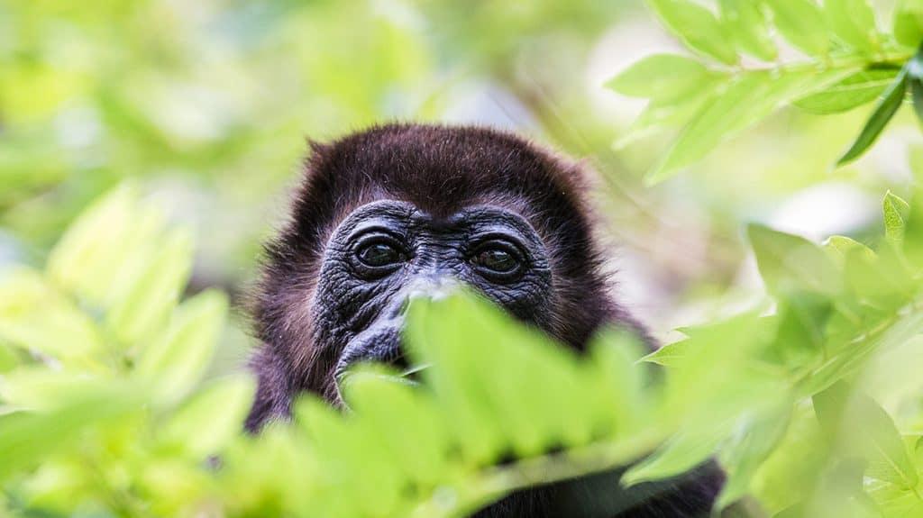 Oplev gorillaer i junglen i Rwanda.