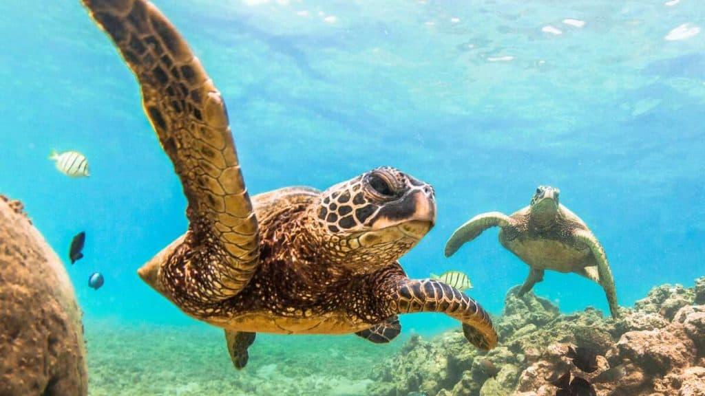 Svøm med havskilpadder på Seychellene.