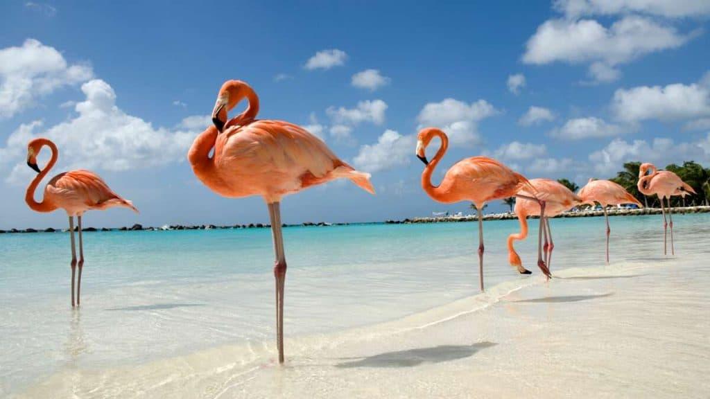 Flamingoer på Renaissance Private Island utenfor Aruba.