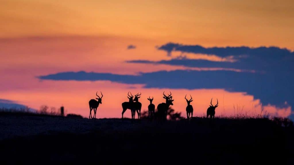 Impalaer i solnedgangen.